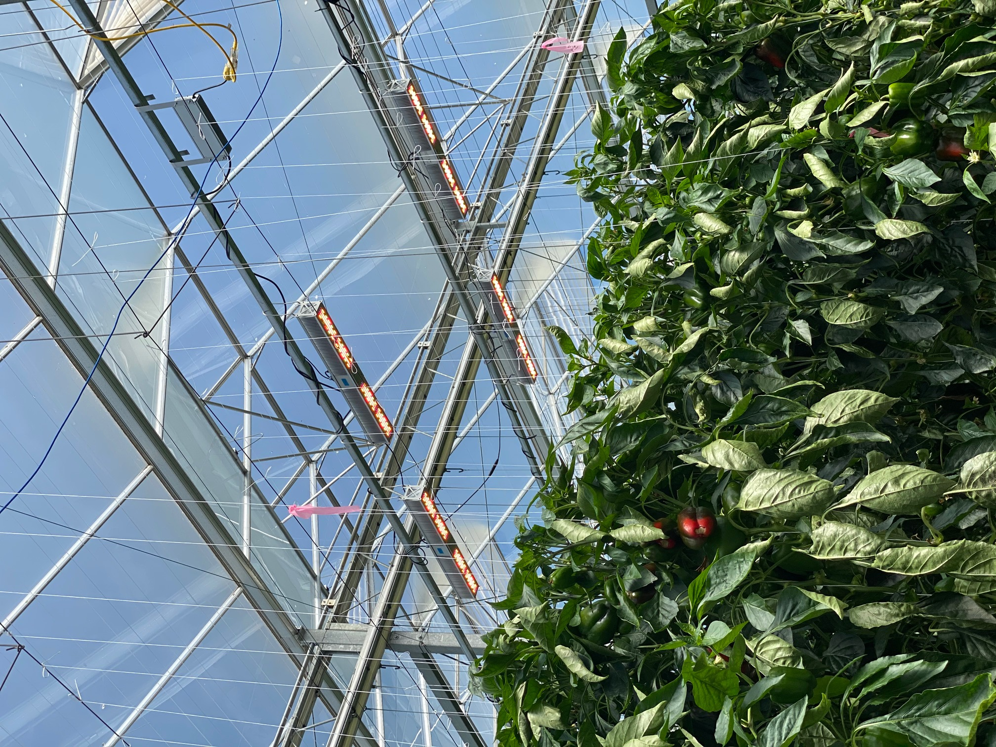 Red Sun Farms embraces technology by lighting up G...